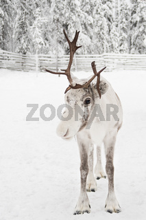 Reindeer from Lapland