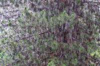 Starker Regen im Gegenlicht vor einem Nadelbaum