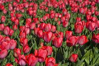 Feld mit pinkfarbenen Tulpen zur Produktion von Tulpenzwiebeln, Noordwijkerhout, Niederlande