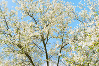 White blossom magnolia tree flowers