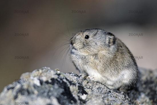Alaska-Pfeifhase ist ein Einzelgaenger, obgleich viele Tiere in einer Geroellfeld leben
