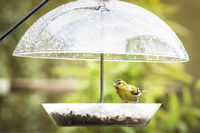 Siskin bird eating food on a rainy day