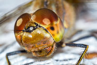 Head of dragonfly