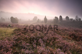 dramatic foggy sunrise over heather flowers