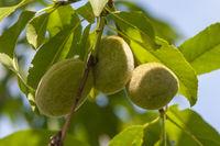 Unreife Mandeln am Mandelbaum (Prunus dulcis),
