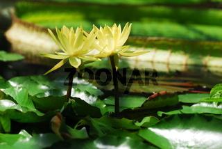 Gelbe Seerosen in Harmonie