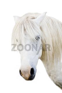 Angry grey pony