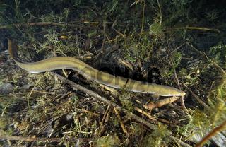 Europaeischer Flussaal,freischwimmend, Anguilla anguilla, European eel, Fuschlsee, Oesterreich, Austria