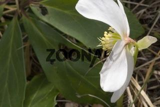 Schneerose (Helleborus niger L.)