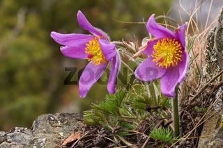 Kuechenschelle, Kuhschelle,  Pulsatilla, Pasque flower
