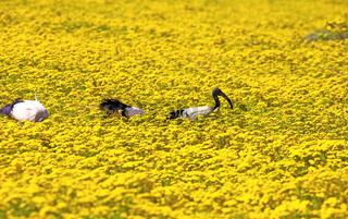 Ibisse im Blütenmeer im West Coast Nationalpark, Postberg Sektion, Südafrika, flower saison at West Coast National Park, Postberg sector, South Africa