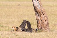 Cheetah with cubs lin the shade under a tree on the savannah