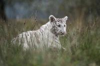 zwischen Gräsern... Königstiger *Panthera tigris*
