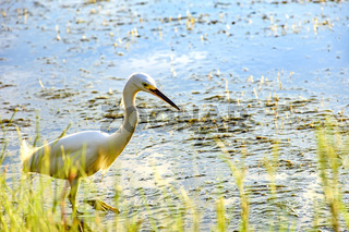 Young white heron walking on water