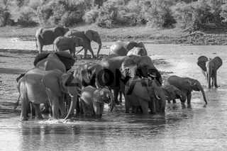 a herd of elephants in the Kruger National Park South Africa