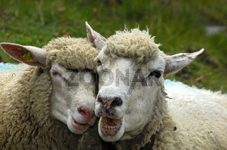 Zwei Schafe tete-à-tete