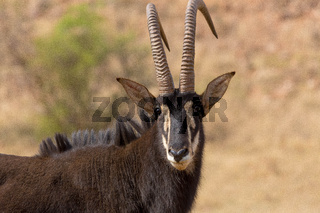 Sable antelope kruger national park South Africa