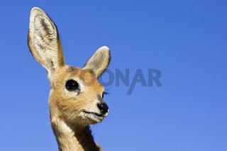 Junges Steinboeckchen (Raphicerus campestris), Namibia, Afrika, young steenbok, Africa