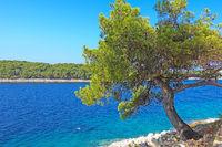 Kroatische Adria mit Kiefer im Vordergrund