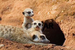 Erdmaennchen, Manguste (Suricata suricatta) mit Jungen vor einer Hoehle, Suedafrika, Afrika, Manguste Meerkat with cups infront of a hole, South Africa