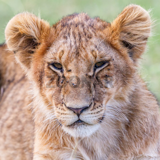 Close up of a tired lion cub