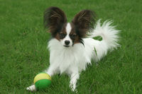 Beautiful young male dog Continental Toy Spaniel Papillon with ball on green lawn