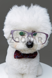 beautiful bichon frisee dog in bowtie and glasses