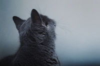 Gray short-haired British cat looks at the wall