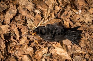 Dead bird in dead oak leaves. Blackbird, Turdus merula, lying in brown leaves on the ground.
