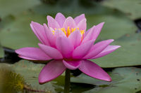 Nymphaea,seerose,wasserrose,Water-lilies,Nymphaea Norma,