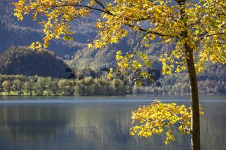 Baum mit Herbstfärbung am Kochelsee in Bayern