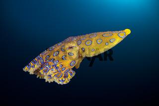 Giftiger Blauring-Oktopus, Indonesien