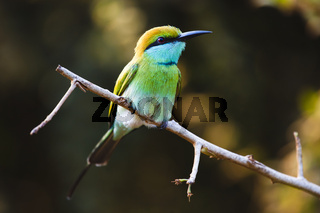 Smaragdspint (Bienenfresser) - Ruhunu Yala NP, Sri Lanka