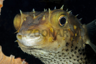 Gelbflecken Igelfisch, Cyclichthys spilostylus