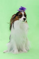 Beautiful young continental spaniel papillon in a hat with feather on a green background