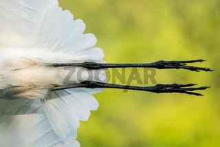 Great Egret Closeup