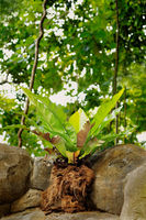 Bird nest fern on rocks