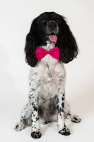 Beautiful female spaniel with a pink bow around his neck on white background