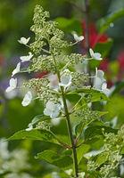 Rispen-Hortensie (Hydrangea paniculata)