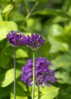 Knospen Zierlauch (Allium sp.)