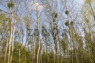 Bäume mit Misteln, Trees with mistletoe