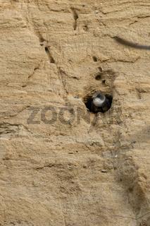 aus der Bruthöhle schauend... Uferschwalbe *Riparia riparia* in der Nisthöhle