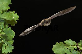 Kleine Bartfledermaus, (Myotis mystacinus), Whiskered Bat