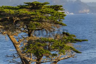 Lone Cyrpess Tree On The California Coastline