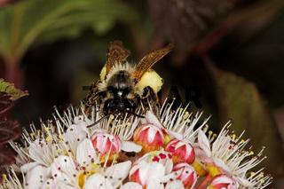 Biene in einer Blasenspiere
