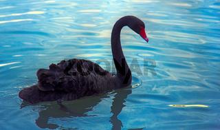 Australian black Swan feeding on pond