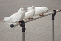 Three beautiful white pigeons sit on a stand
