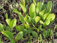 Strandflieder, Limonium vulgare auf einer Salzwiese am Watt im Frühling