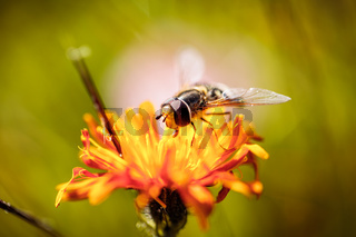 Wasp collects nectar from flower crepis alpina