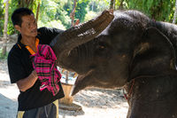 Elephant trainer kares about kiss small elephant-calf